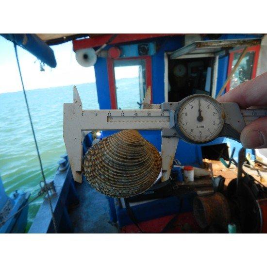 Пилотен иновативен проект: Експериментално развъждане на двучерупчести морски трюфели (Venus verrucosa) във Венецианската лагуна